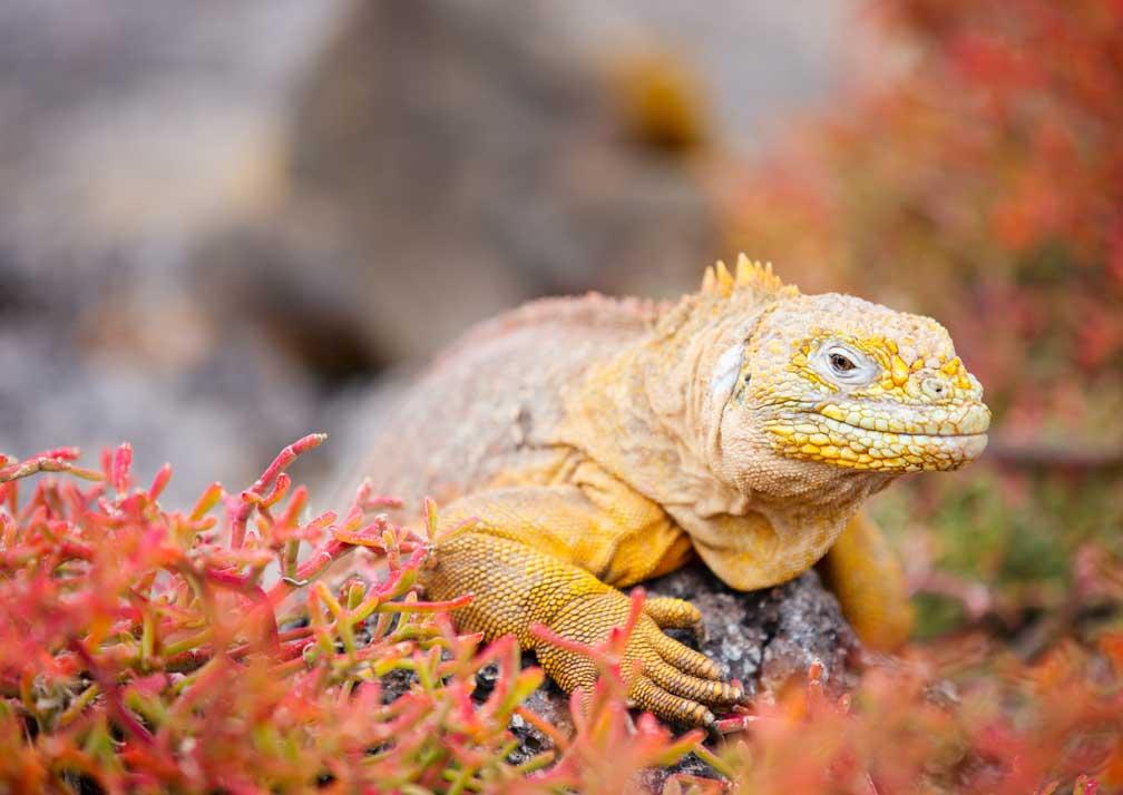GPS-Land-iguana