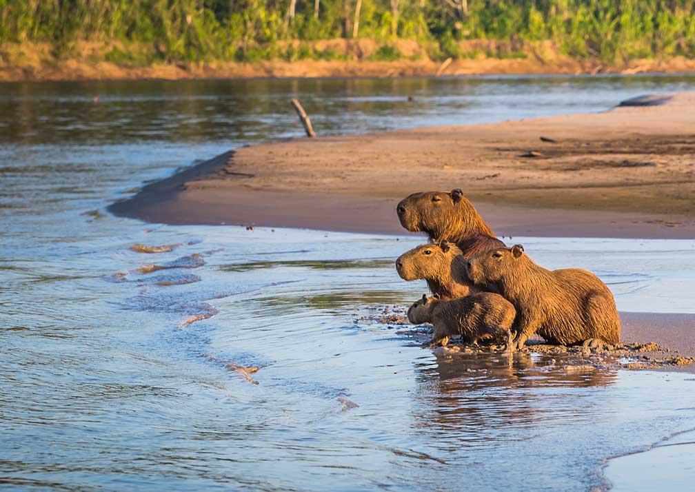 Capybara-Manu