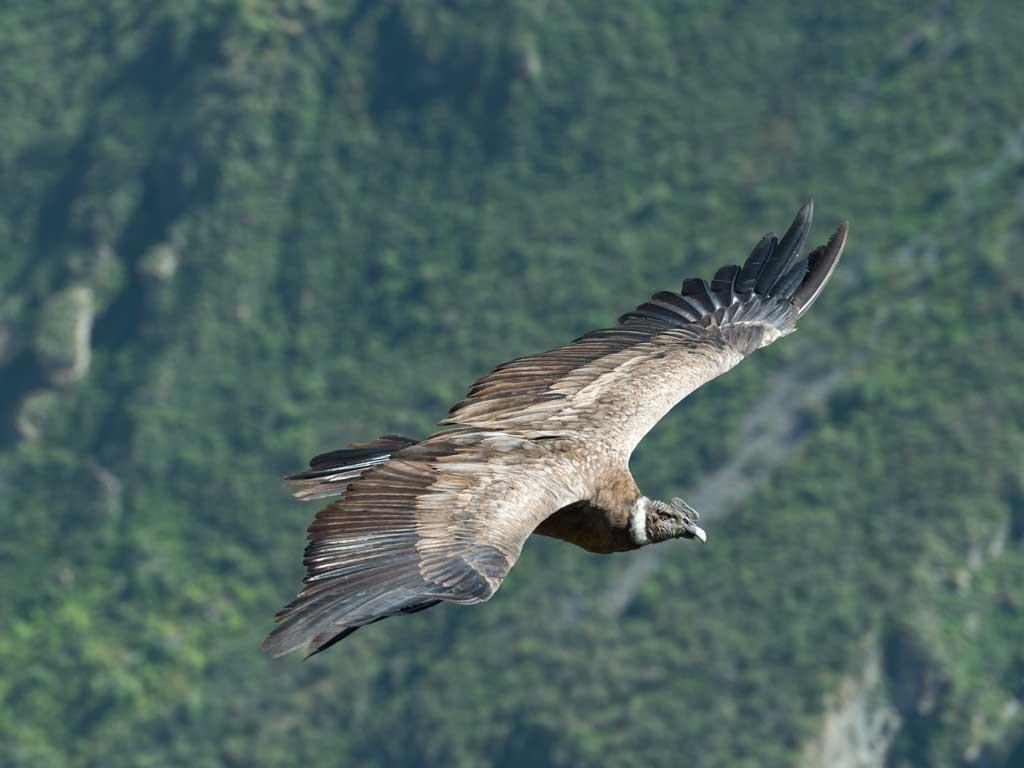 Condor-colca-19