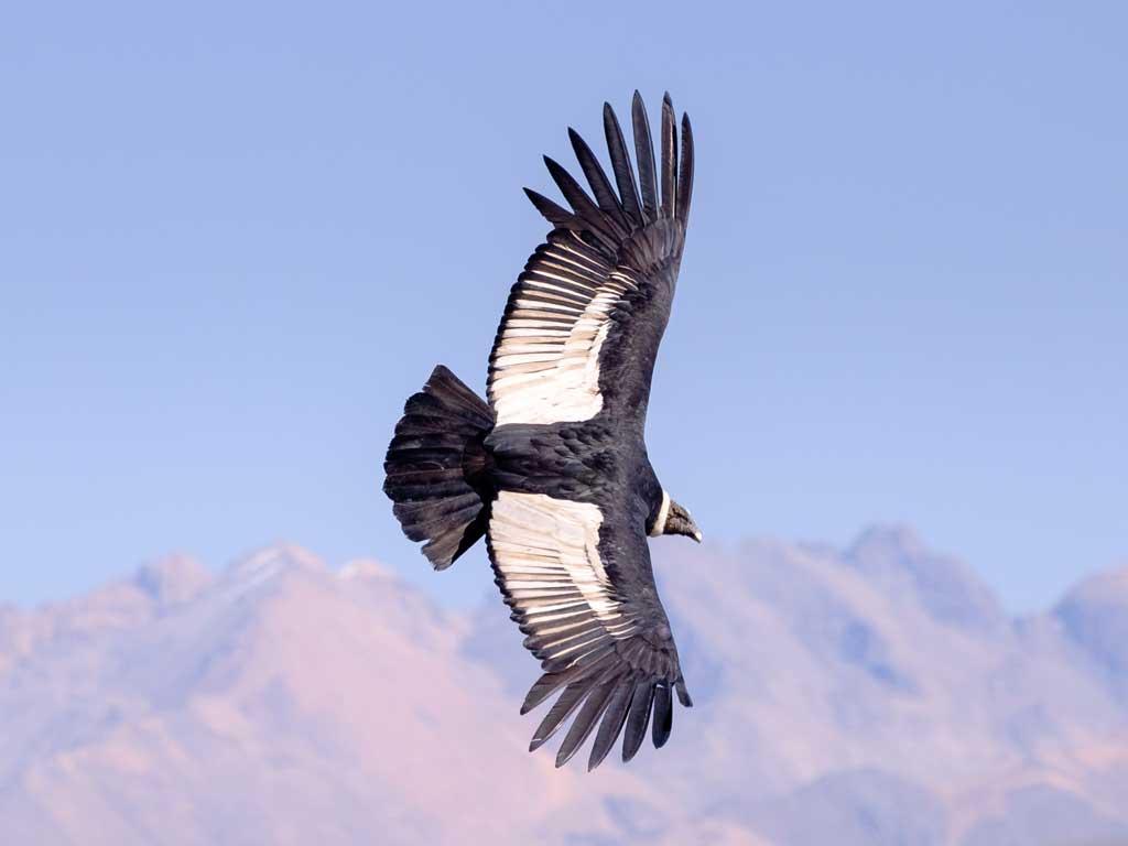 Condor-colca1-19