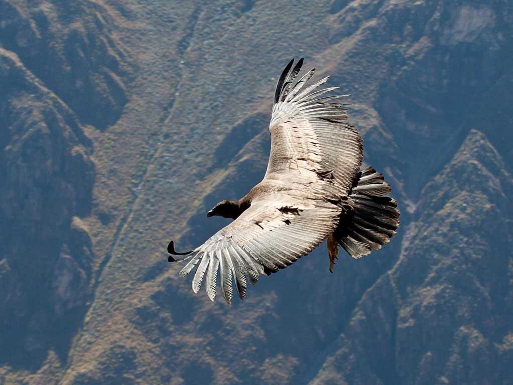 Condor-colca2-19