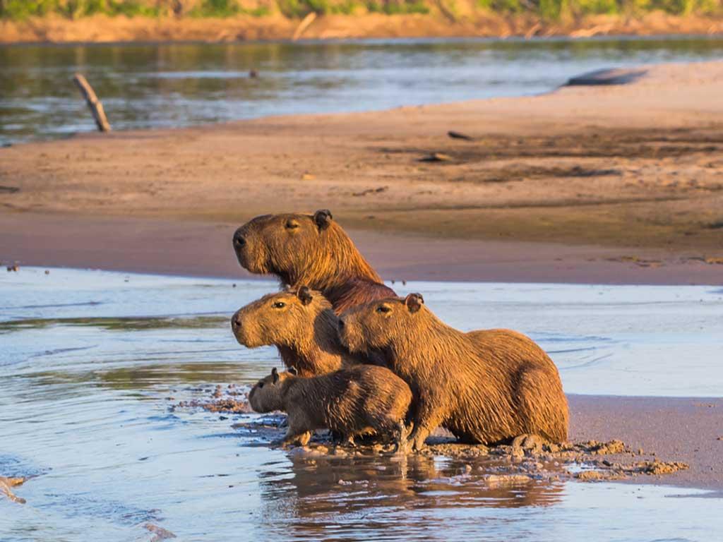 Iquitos-capybara-19