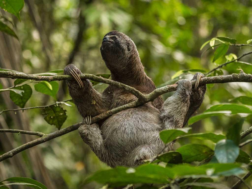 Iquitos-sloth-19