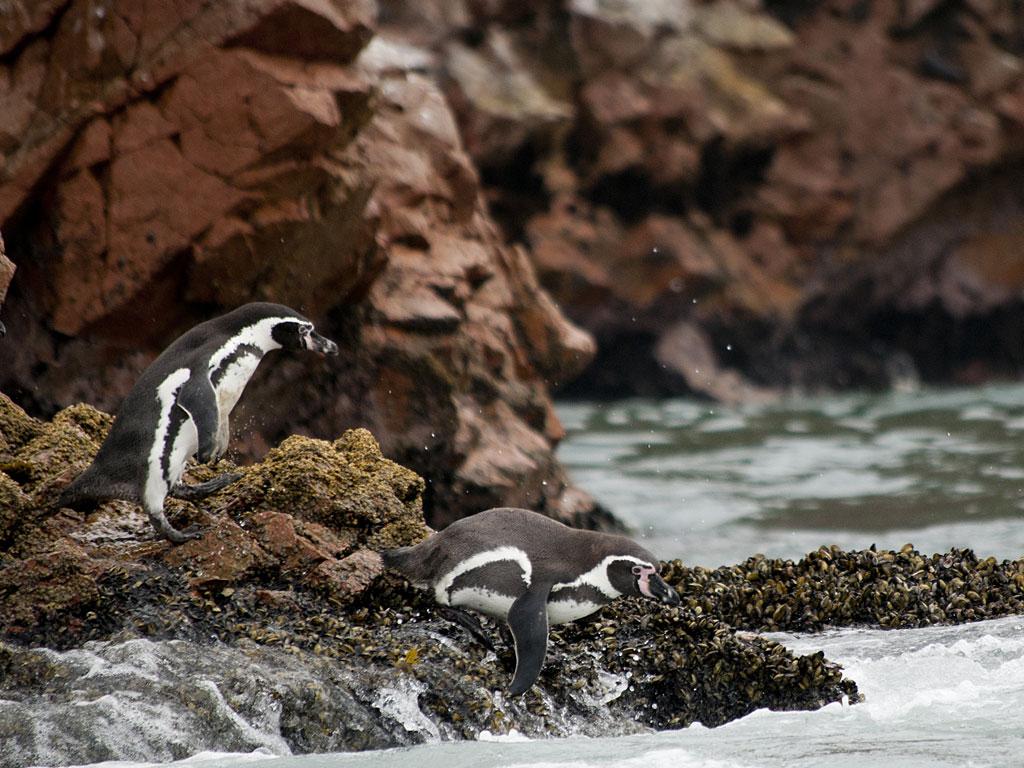 paracas-penguins-1-19
