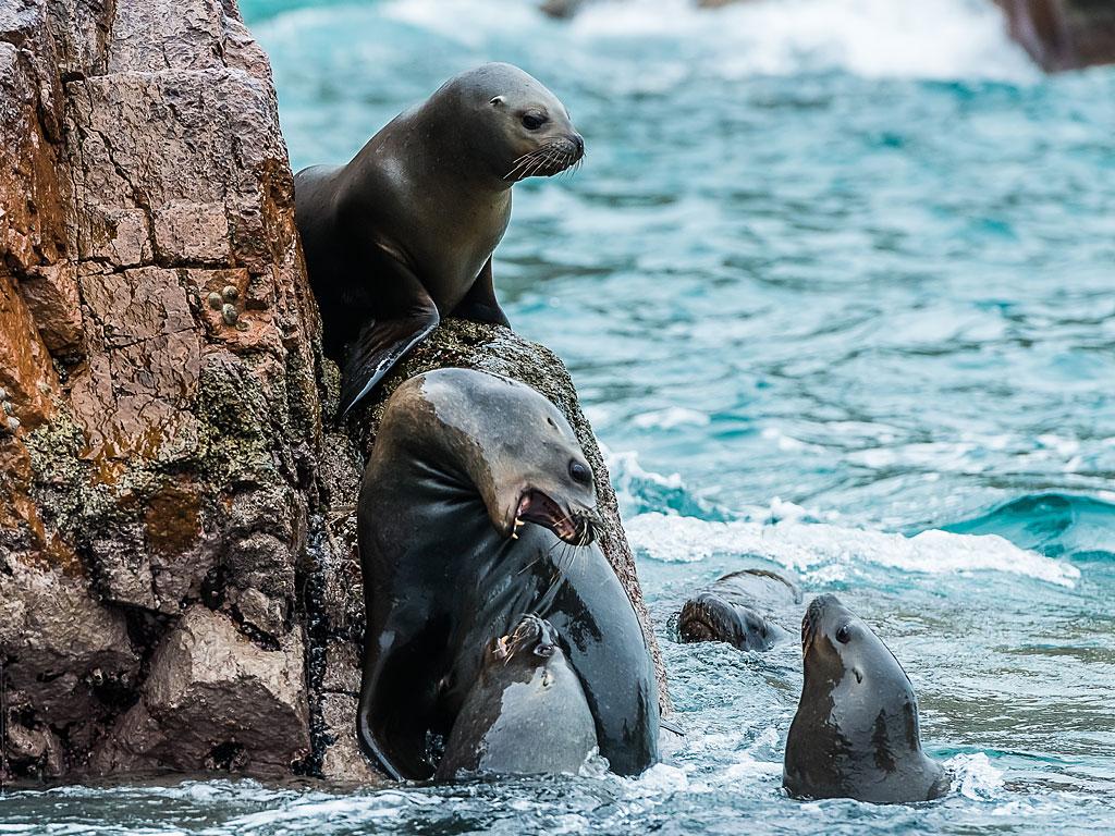 paracas-sea-lions-1-19