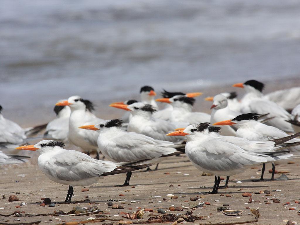 paracas-terns-1-19